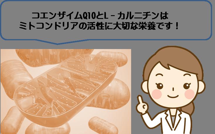 ミトコンドリア活性に大切なコエンザイムQ10